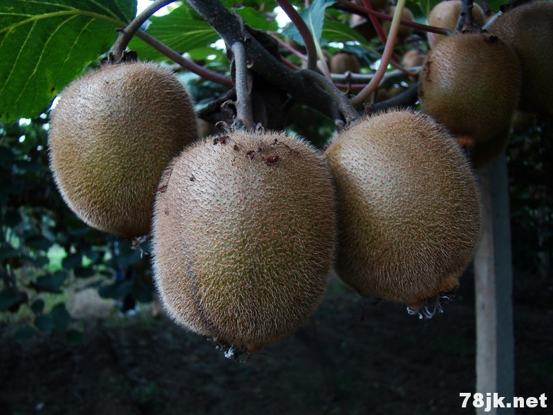 19 个猕猴桃的功效与作用