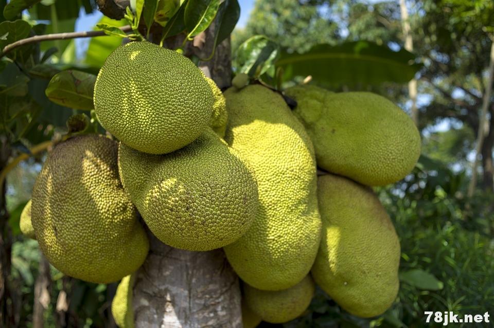 菠萝蜜的 25 个惊人的功效和作用