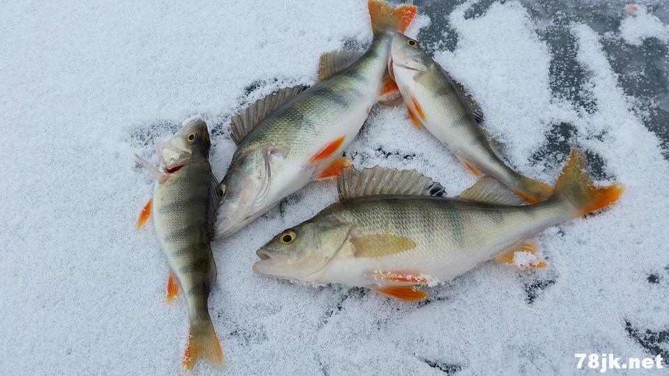 尼罗河鲈鱼是什么?有什么营养价值和养生功效?