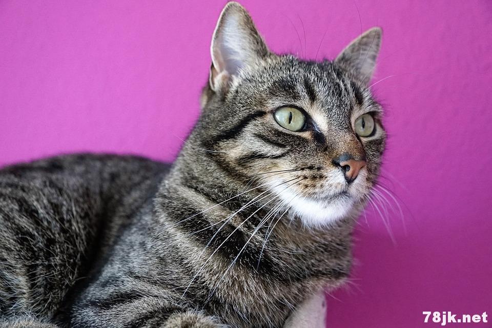 猫咪一直呕吐可能是慢性肠道病变!