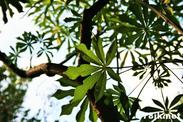 木瓜叶的好处、功效、使用方法和副作用