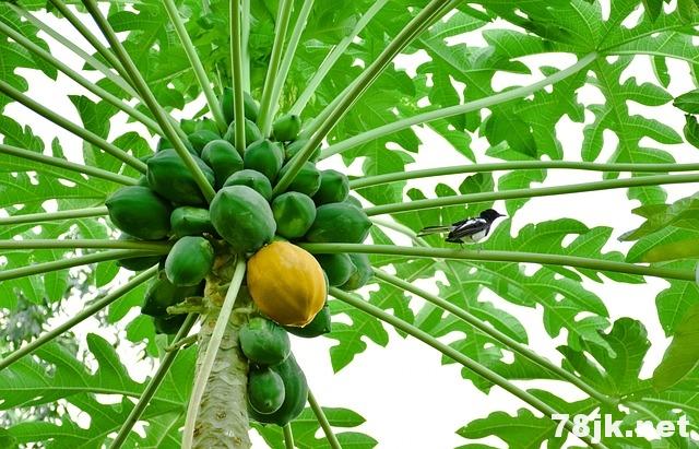 青木瓜(未成熟木瓜)的好处和营养价值