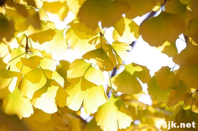 银杏叶的 7 个功效与作用以及营养价值