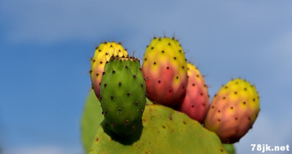 仙人掌果的营养价值以及 8 个功效与作用