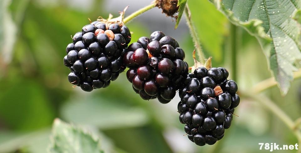 黑莓的营养价值以及 14 个功效与作用