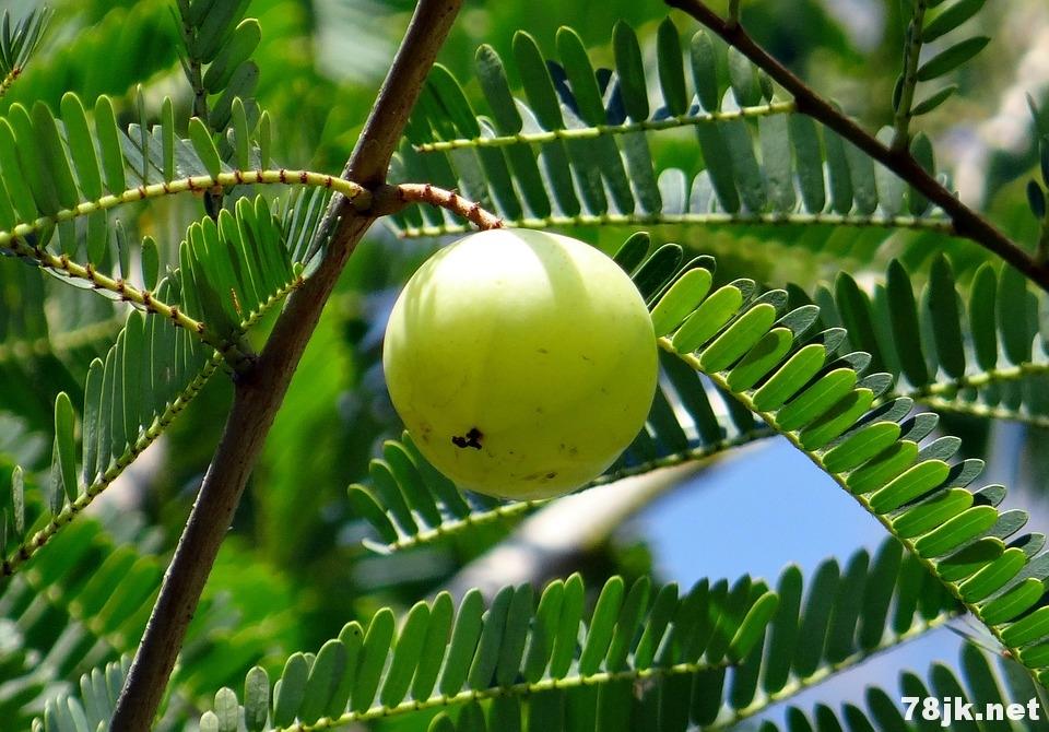 15 个印度醋栗(西印度醋栗)的功效与营养价值