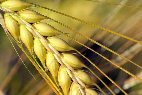 大麦的功效与作用_大麦的食用方法和禁忌有哪些?