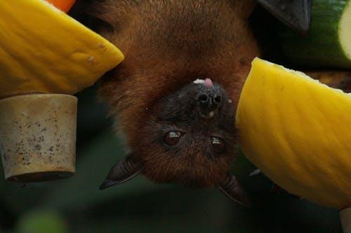 蝙蝠携带许多病毒,那它们为什么不生病呢?